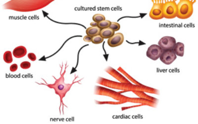 Stem cells treatments.Human adult stem cells are most clinically useful but it will still be a few years before these cells are really useful