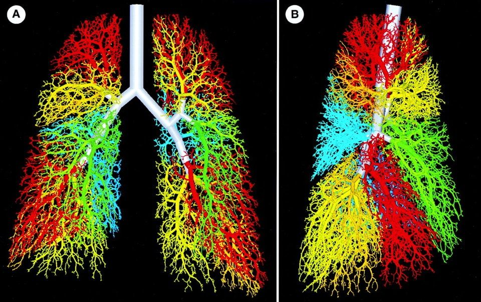 Lung organoids have been produced from human pluripotent stem (iPS) cells allowing deeper insight into human development of this organ