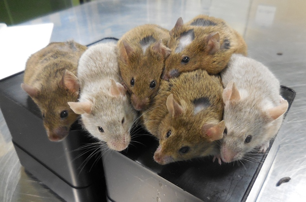 The study showed that life expectancy in the mice with Gaucher's disease was significantly prolonged after gene therapy before birth